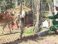 자라이(Gia Lai)성 망양 (Mang Yang)의 효과적 꽃사슴 사육모형