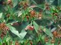 与谅山人一起收获八角茴香