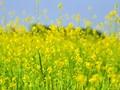 Mùa hoa cải - Lê Thanh Long, Liên bang Nga