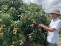 Выращивание личи на неплодородных почвах приносит крестьянам полмиллиарда донгов с гектара