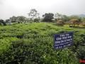 В провинции Тхайнгуен создают бренд чая «Танкыонг» в сочетании с развитием туризма