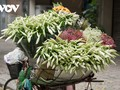 Hanoi welcomes lily flower blooming season