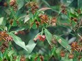 La cosecha del anís estrellado de los lugareños de Lang Son