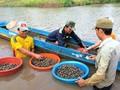 Agricultores de Ca Mau se enriquecen gracias a los berberechos de sangre
