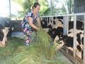 Effektivität der Milchwirtschaft in Soc Trang