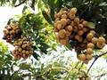 Vietnamesische Bauern bringen vietnamesische Agrarprodukte auf den Weltmarkt