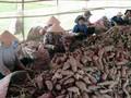 中国同意考虑重新进口越南红薯