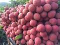 Lần đầu tiên vải thiều Hải Dương xuất khẩu sang Thái Lan
