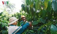 Hasil-guna program kerjasama negara-swasta dalam produksi kopi yang berkelanjutan di Provinsi Dak Lak