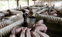Mengembangkan peternakan Vietnam menurut arah industrialisasi dan modernisasi