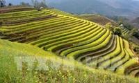 Región norteña de Vietnam promueve recorridos turísticos por arrozales en terrazas