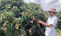 Lichi, nueva fuente de ingresos para los agricultores en Ea Kar