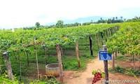 """Ninh Thuan promueve el modelo """"Gran Campo"""" en el cultivo de uvas"""