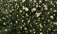 Hermosas margaritas de ojo de buey en el pueblo de flores de Nhat Tan