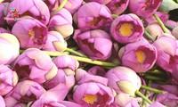 Flores de loto deslumbran a visitantes en verano