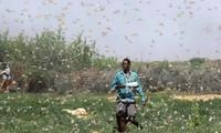 "Somalia anuncia ""emergencia nacional"" por plaga de saltamontes"