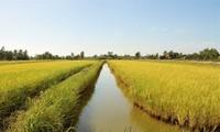 """Los beneficios económicos que trae el modelo de cultivo rotativo """"langostinos-arroz"""" en Soc Trang"""