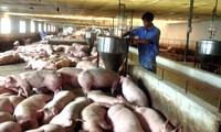 Implementan medidas para estabilizar precio de carne de cerdo
