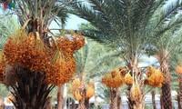 El mayor jardín de palmeras datileras en la región suroeste de Vietnam