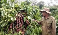 Alta efectividad de la asociación público-privada en la producción sostenible de café en Dak Lak