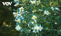 Binh Lieu en la temporada blanca de la camellia oleifera
