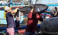 金枪鱼出口大幅增长