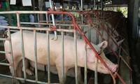 Plusieurs entreprises ont diminué le prix de vente de la viande de porc