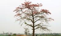 Saison der Blüte des roten Seidenwollbaums