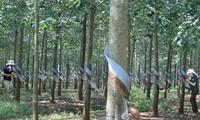 Vietnamesischer Kautschuk-Konzern setzt Projekte in Laos und Kambodscha fort