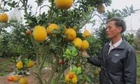 Le Duc Giap veredelt Bäume mit fünf und sieben Obstsorten