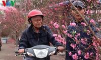 Pfirsichzweige in den Straßen Hanois