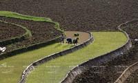 Steigerung der Anzahl der Ernten auf den Terrassenfeldern