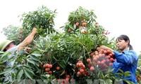 Ertragreiche Litschi-Ernte der Bauern in Bac Giang