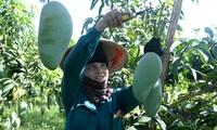 Provinz Son La fördert den Export von Agrarprodukten