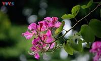 Bauhinien blühen früh in Hanoi
