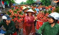 Vải thiều Việt Nam lần đầu tiên được xuất khẩu sang thị trường Pháp