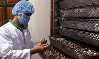 Para pemuda di Pulau Ly Son memproduksi hasil pertanian organik