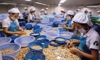 Vietnam Mempertahankan Posisi Pertama di Dunia tentang Pengolahan dan Ekspor Kacang Mente