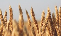 AS memenangkan gugatan di WTO bersangkutan dengan kuota tarif Tiongkok terhadap padi-padian