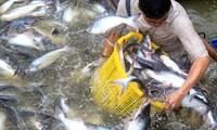 Memperkenalkan sepintas lintas tentang cabang budidaya perikanan di Vietnam