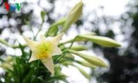 Die Lilien im Dorf Tay Tuu