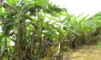 Bauern in Huoi Luong pflanzen Bananenstauden an