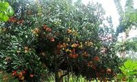 Besuch im Obstgarten von Vam Xang in Can Tho