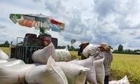Gute Reisernte im Mekong-Delta