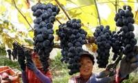 베트남, 한국의 최대 포도 수입시장