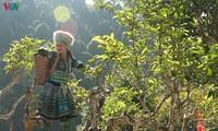 서북 산림지대의 향기를 담은 수오이장 (Suối Giàng) 산설차 (山雪茶)
