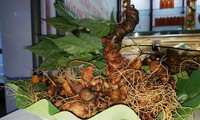 꽝남성, 조직배양 응옥린 인삼재배 시범사업