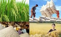 出口优质大米——越南水稻种植业的新发展方向