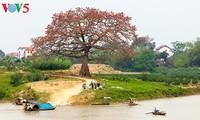 越南北部乡村鲜艳夺目的红色木棉花