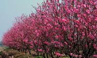 戊戌春节盆栽桃树、金桔、柚子价格上涨